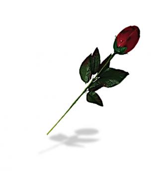 Bouton de rose praliné